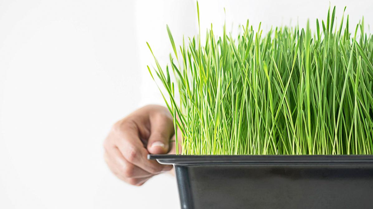 How To Easily Grow Wheatgrass At Home - Green Garden Life