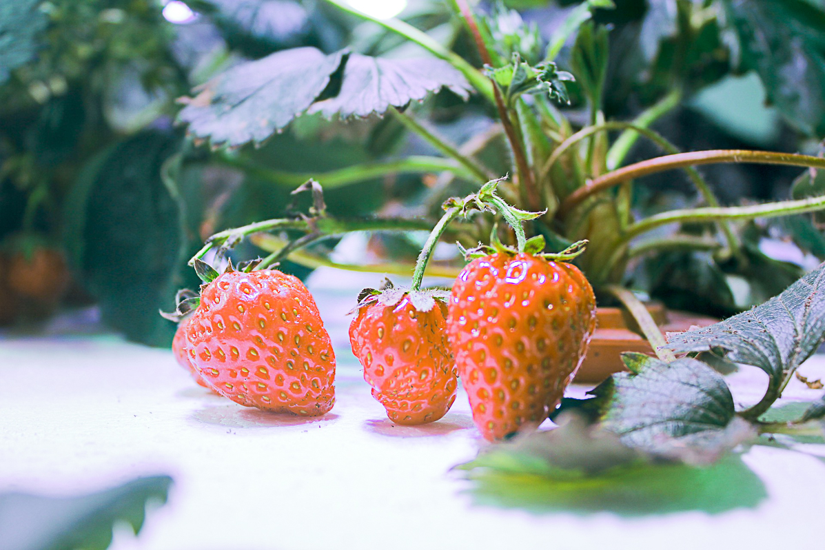 Best Strawberry Growing Kits For Home Gardeners
